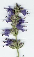 hyssop plant
